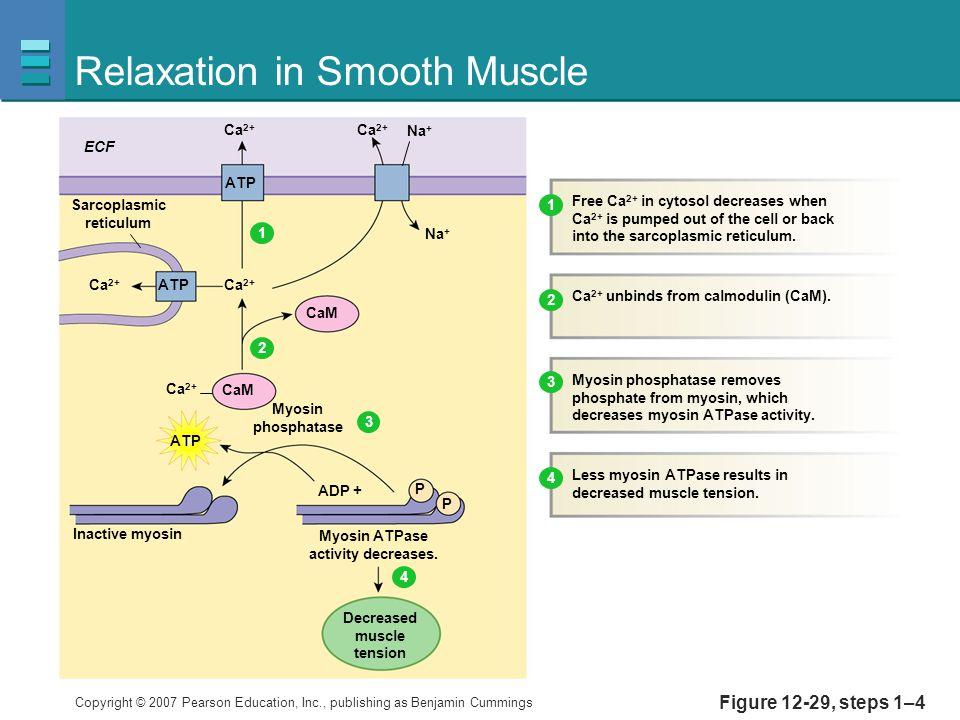 Copyright © 2007 Pearson Education, Inc., publishing as Benjamin Cummings Figure 12-29, steps 1–4 Relaxation in Smooth Muscle Ca 2+ ECF Ca 2+ Na + CaM Inactive myosin Myosin ATPase activity decreases.