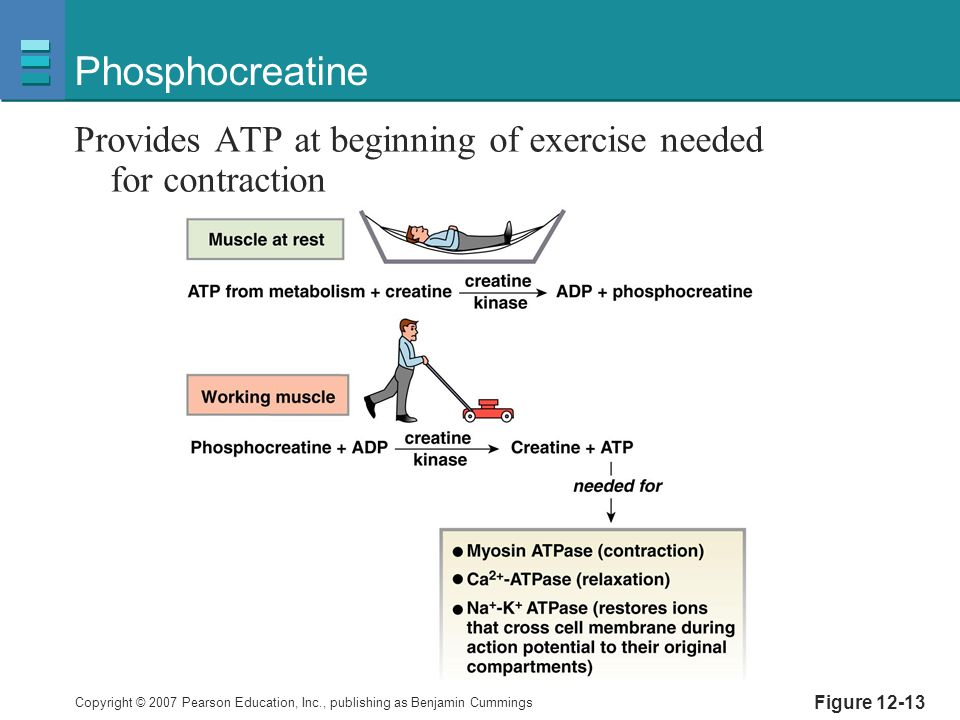 Copyright © 2007 Pearson Education, Inc., publishing as Benjamin Cummings Figure 12-13 Phosphocreatine Provides ATP at beginning of exercise needed for contraction