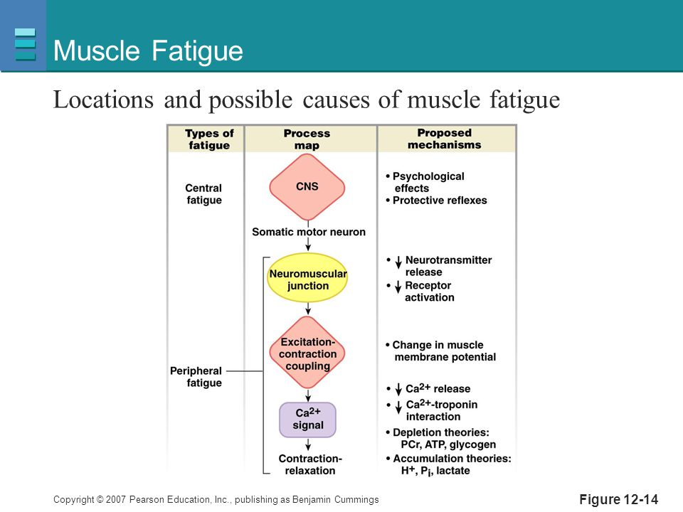 Copyright © 2007 Pearson Education, Inc., publishing as Benjamin Cummings Figure 12-14 Muscle Fatigue Locations and possible causes of muscle fatigue