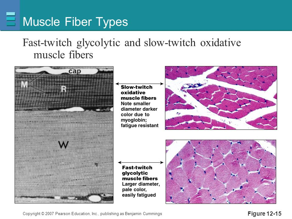 Copyright © 2007 Pearson Education, Inc., publishing as Benjamin Cummings Figure 12-15 Muscle Fiber Types Fast-twitch glycolytic and slow-twitch oxidative muscle fibers