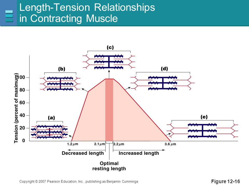 Copyright © 2007 Pearson Education, Inc., publishing as Benjamin Cummings Length-Tension Relationships in Contracting Muscle Figure 12-16