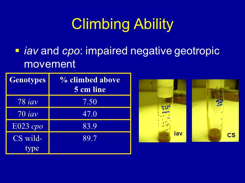 Climbing Ability  iav and cpo: impaired negative geotropic movement Genotypes% climbed above 5 cm line 78 iav7.50 70 iav47.0 E023 cpo83.9 CS wild- type 89.7 iav CS