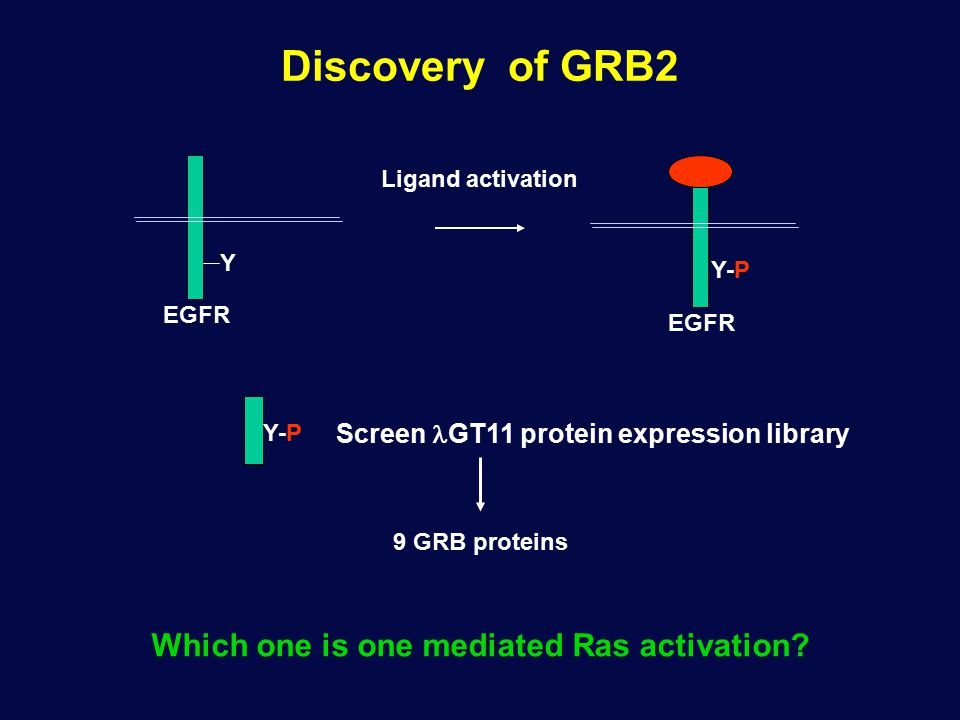 Discovery of GRB2 EGFR Y Ligand activation Y-P Screen GT11 protein expression library 9 GRB proteins Which one is one mediated Ras activation? Y-P