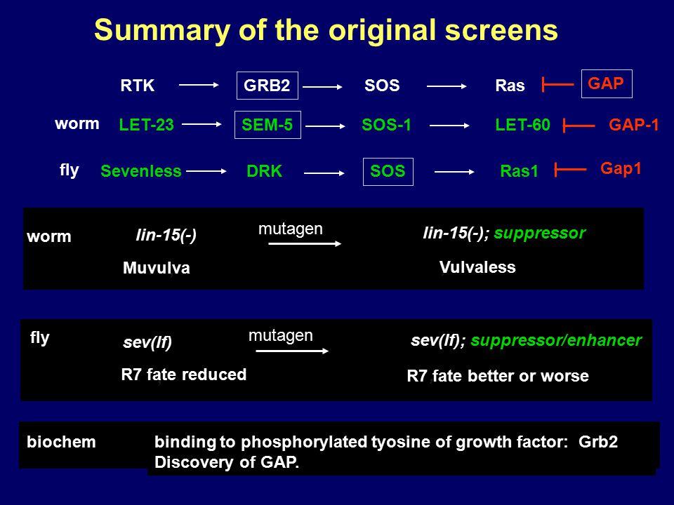 Summary of the original screens lin-15(-), Muvulva lin-15(-); suppressor ; Vulvaless mutagen worm biochem binding to phosphorylated tyosine of growth factor: Grb2 Discovery of GAP.