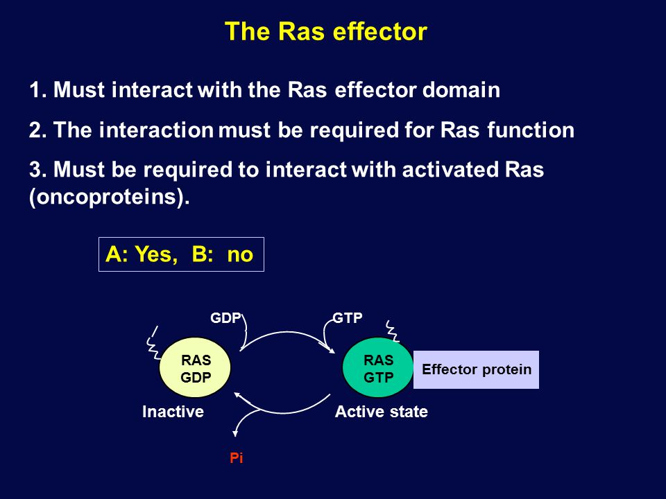 The Ras effector 1. Must interact with the Ras effector domain 2.