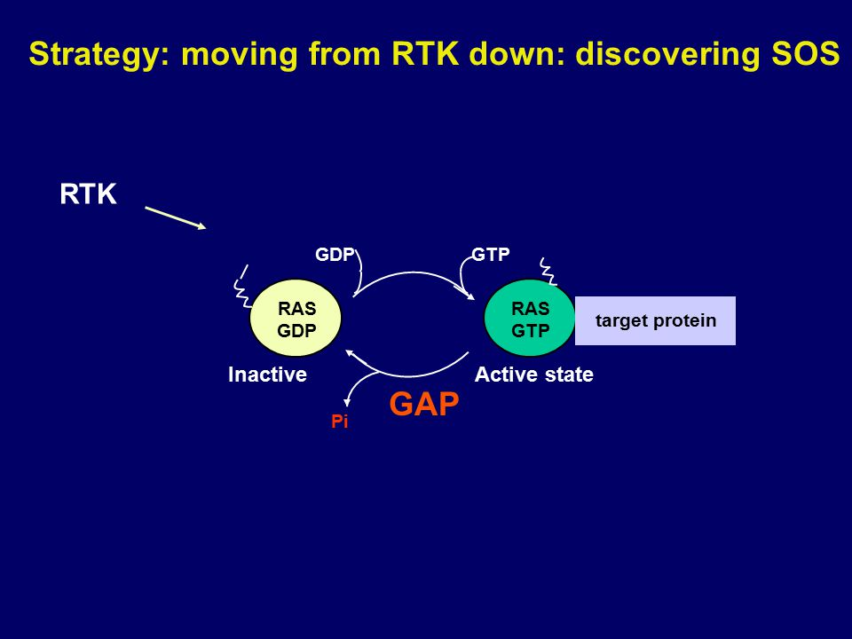 Strategy: moving from RTK down: discovering SOS RAS GDP RAS GTP Pi GTPGDP GAP target protein Active stateInactive RTK