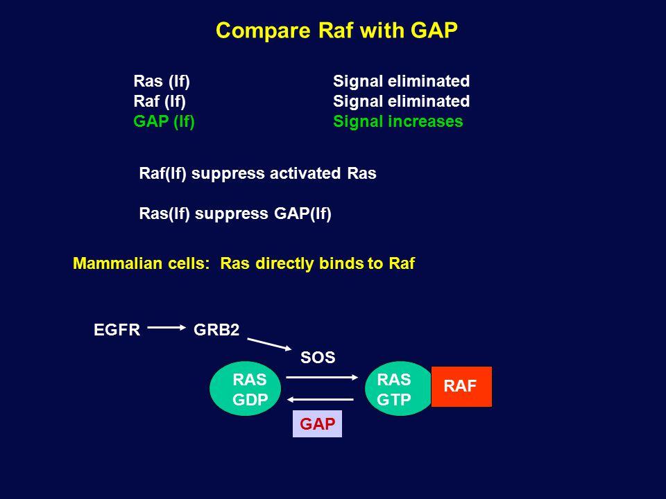Compare Raf with GAP Ras (lf)Signal eliminated Raf (lf)Signal eliminated GAP (lf)Signal increases Raf(lf) suppress activated Ras Ras(lf) suppress GAP(lf) RAS GDP GAP RAS GTP SOS GRB2EGFR Mammalian cells: Ras directly binds to Raf RAF