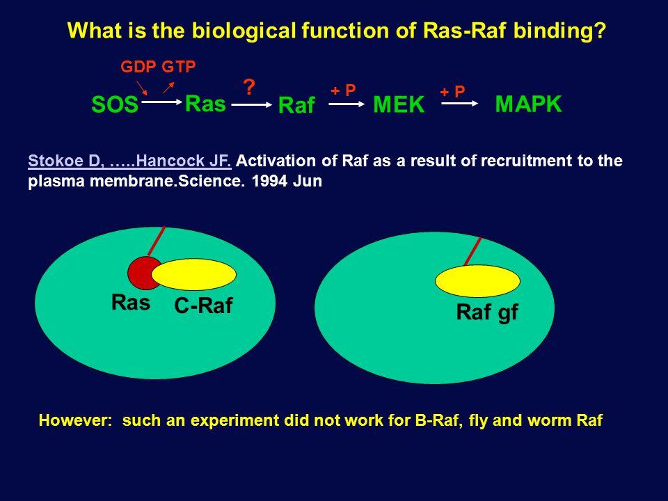 What is the biological function of Ras-Raf binding? Ras Raf MEK + P MAPK + P SOS ? GDPGTP Ras C-Raf Stokoe D, …..Hancock JF.Stokoe D, …..Hancock JF. A