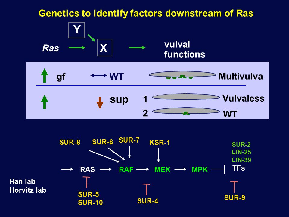 Genetics to identify factors downstream of Ras Ras X vulval functions gf Multivulva WT WT 2 Y Vulvaless 1 sup SUR-6 KSR-1 SUR-8 SUR-7 SUR-5 SUR-10 SUR