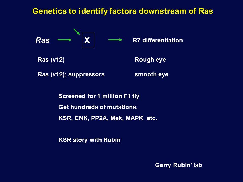Genetics to identify factors downstream of Ras Ras X R7 differentiation Ras (v12) Rough eye Ras (v12); suppressors smooth eye Screened for 1 million F1 fly Get hundreds of mutations.