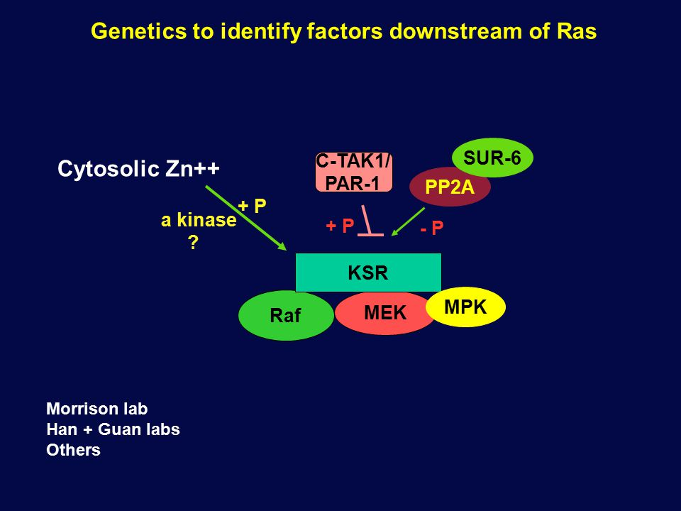 Genetics to identify factors downstream of Ras Raf MEK KSR MPK C-TAK1/ PAR-1 + P PP2A SUR-6 - P Cytosolic Zn++ a kinase .