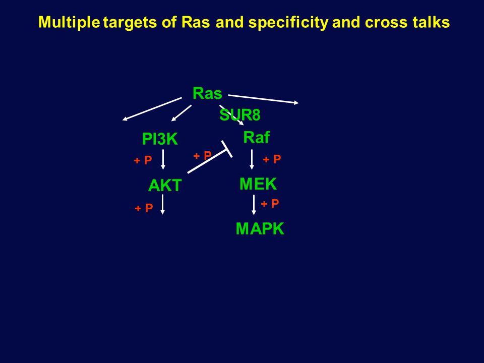 Multiple targets of Ras and specificity and cross talks Ras Raf AKT PI3K MEK + P MAPK + P SUR8