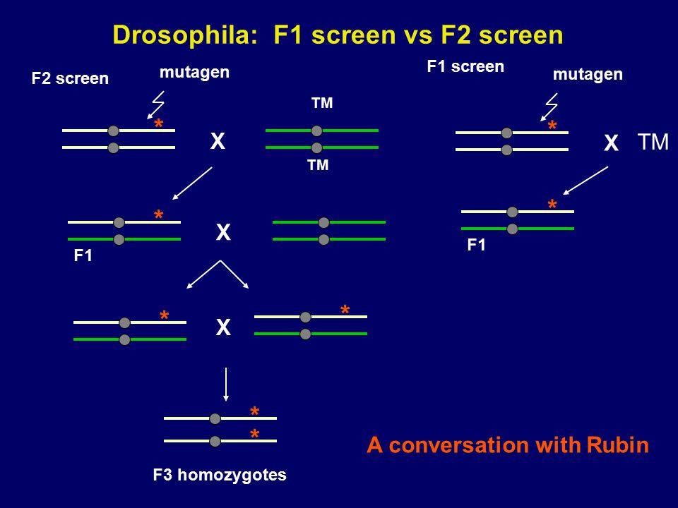 Drosophila: F1 screen vs F2 screen X * * X * * F3 homozygotes mutagen X TM * * F1 F2 screen mutagen X * * F1 F1 screen TM A conversation with Rubin