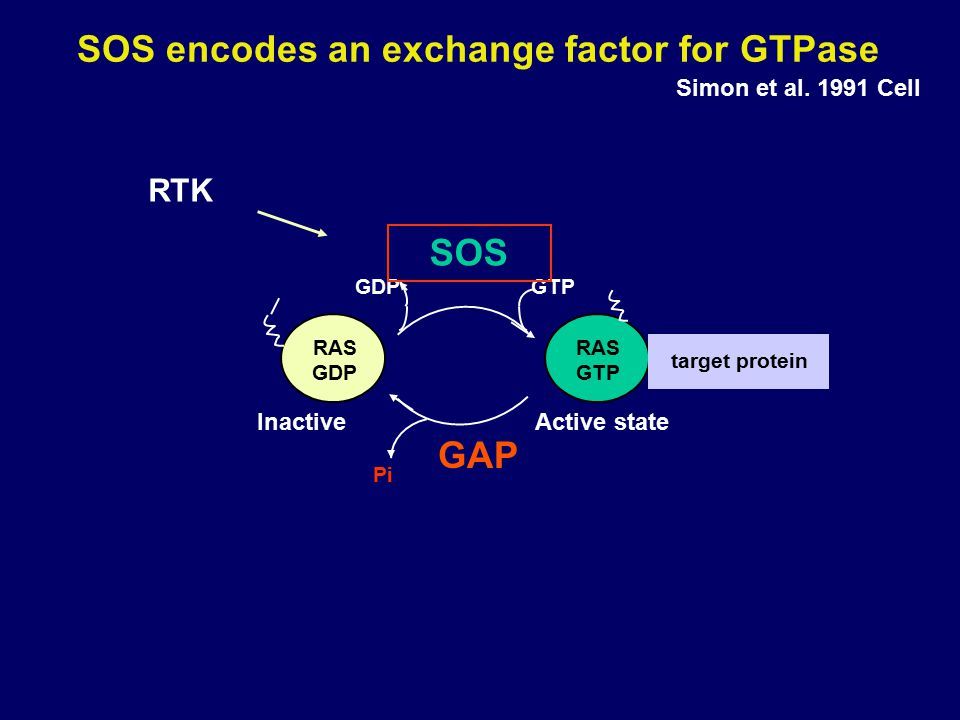 SOS encodes an exchange factor for GTPase Simon et al. 1991 Cell RAS GDP RAS GTP Pi GTPGDP SOS GAP target protein Active stateInactive RTK