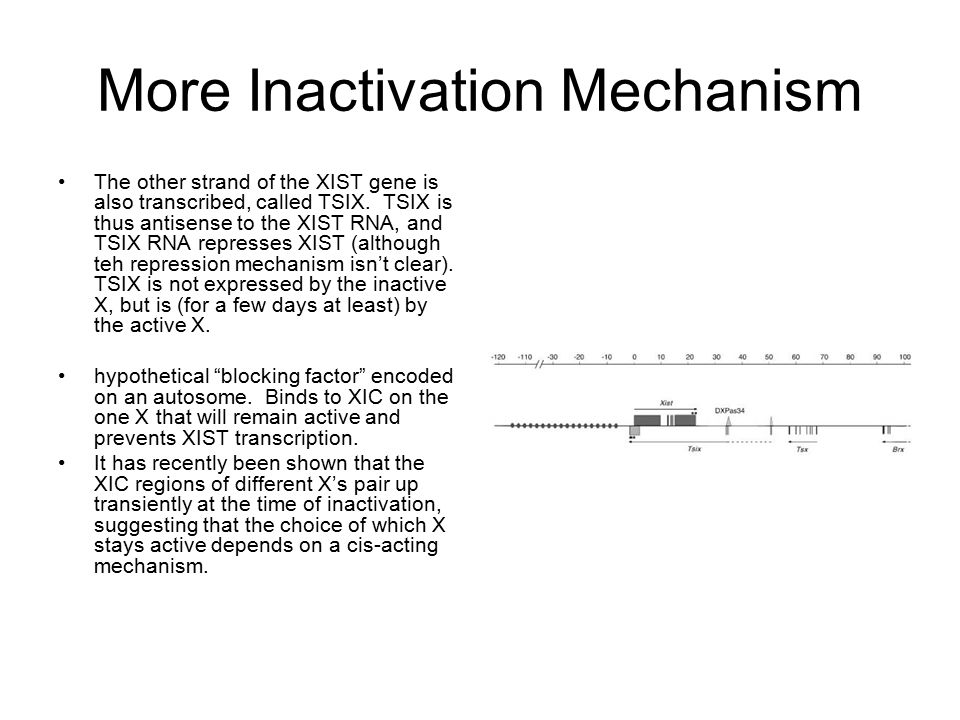 More Inactivation Mechanism The other strand of the XIST gene is also transcribed, called TSIX. TSIX is thus antisense to the XIST RNA, and TSIX RNA r