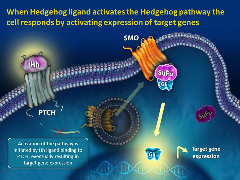 5 When Hedgehog ligand activates the Hedgehog pathway the cell responds by activating expression of target genes Activation of the pathway is initiate