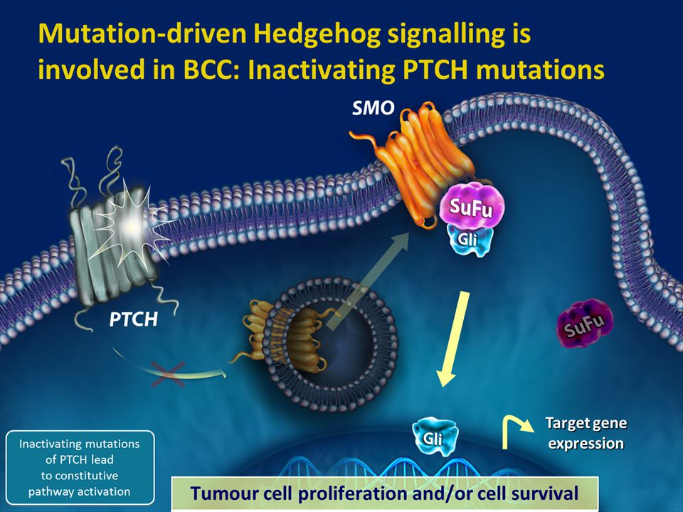 8 Inhibition Tumour cell proliferation and/or cell survival Target gene expression Mutation-driven Hedgehog signalling is involved in BCC: Inactivatin