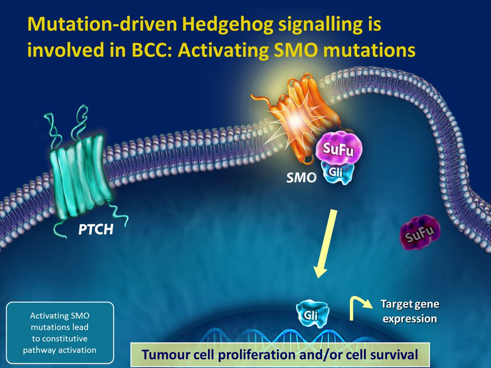 10 Abnormal Hedgehog pathway signalling is synonymous with BCC In BCC, abnormal Hedgehog pathway signalling is the key molecular driver of the disease 1-3 More than 90% of BCCs have abnormal activation of Hedgehog pathway signalling 4-6 Most BCC tumours have either inactivating mutations in PTCH or, less commonly, activating mutations in SMO 3,7–9  As a result of inactivating PTCH mutations 3,7,9 or activating SMO mutations, 3,7,9 SMO moves to the cell surface leading to activation of the GLI family of transcription factors 9  Activated GLI then moves to the nucleus and initiates the transcription of target genes 9 5.