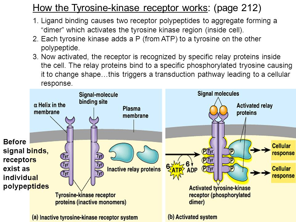 """How the Tyrosine-kinase receptor works: (page 212) 1. Ligand binding causes two receptor polypeptides to aggregate forming a """"dimer"""" which activates t"""