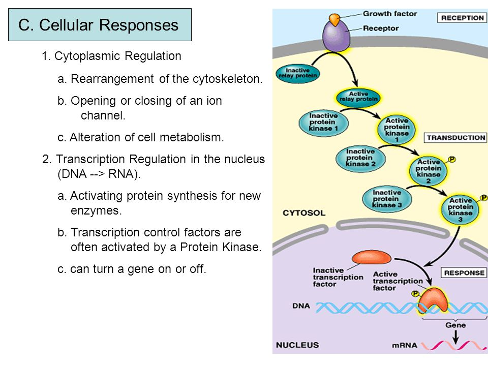 C. Cellular Responses 1. Cytoplasmic Regulation a. Rearrangement of the cytoskeleton. b. Opening or closing of an ion channel. c. Alteration of cell m