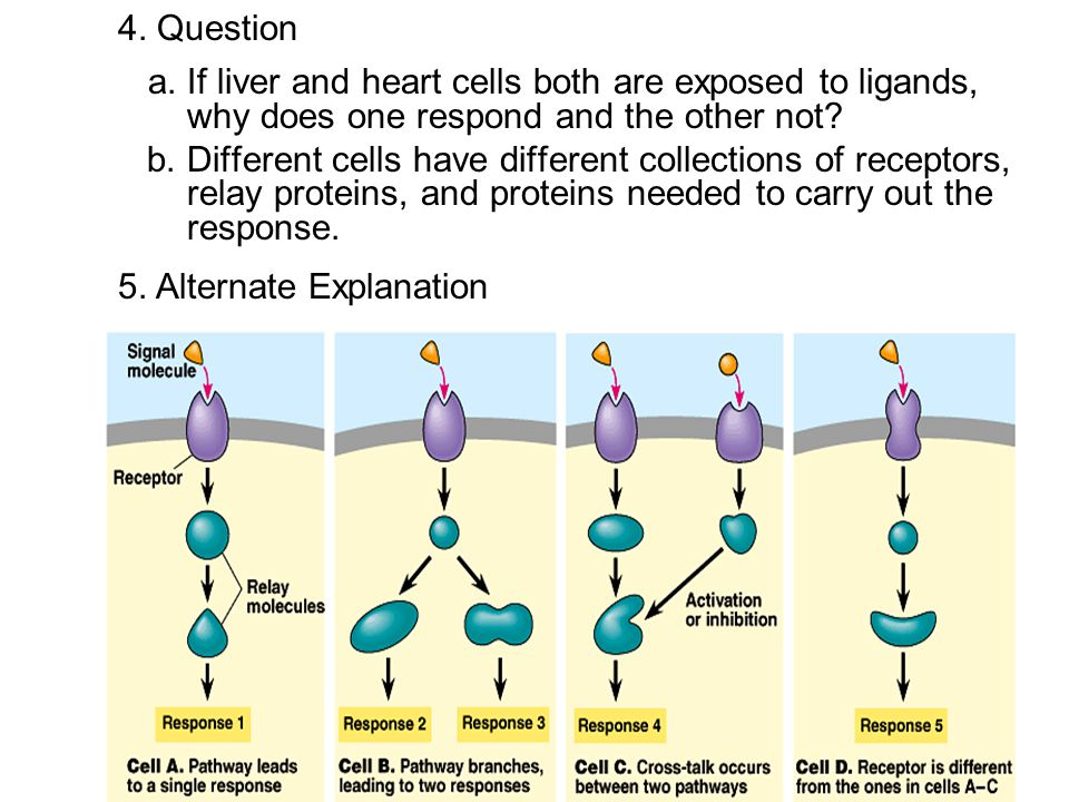 4. Question a. If liver and heart cells both are exposed to ligands, why does one respond and the other not? b. Different cells have different collect