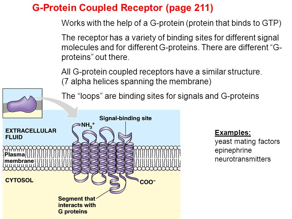 G-Protein Coupled Receptor (page 211) Works with the help of a G-protein (protein that binds to GTP) The receptor has a variety of binding sites for d
