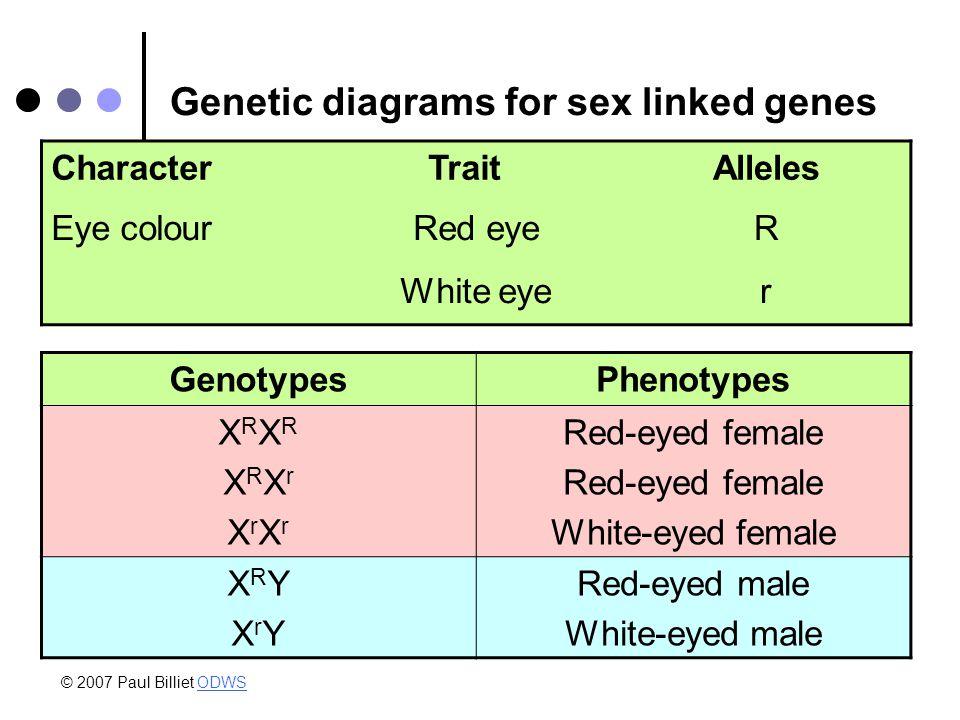 Genetic diagrams for sex linked genes CharacterTraitAlleles Eye colourRed eyeR White eyer GenotypesPhenotypes XRXRXRXrXrXrXRXRXRXrXrXr Red-eyed female White-eyed female XRYXrYXRYXrY Red-eyed male White-eyed male © 2007 Paul Billiet ODWSODWS