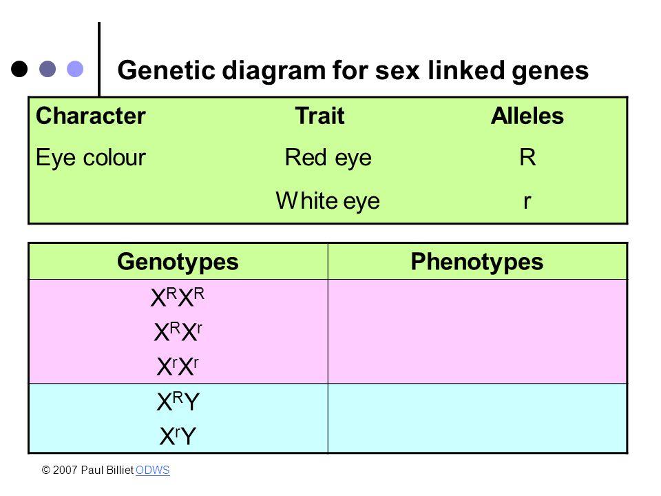 Genetic diagram for sex linked genes CharacterTraitAlleles Eye colourRed eyeR White eyer GenotypesPhenotypes XRXRXRXrXrXrXRXRXRXrXrXr XRYXrYXRYXrY © 2007 Paul Billiet ODWSODWS