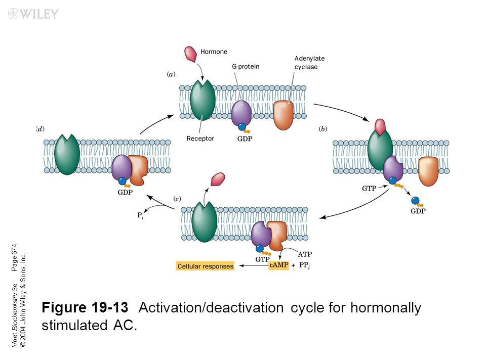 Voet Biochemistry 3e © 2004 John Wiley & Sons, Inc. Figure 19-13Activation/deactivation cycle for hormonally stimulated AC. Page 674