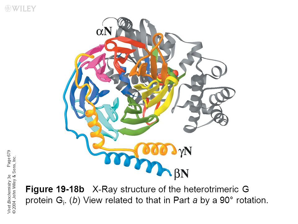 Voet Biochemistry 3e © 2004 John Wiley & Sons, Inc. Figure 19-18bX-Ray structure of the heterotrimeric G protein G i. (b) View related to that in Part