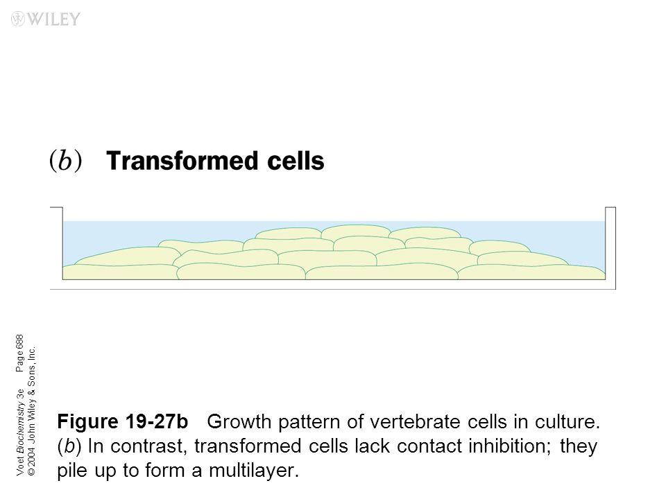 Voet Biochemistry 3e © 2004 John Wiley & Sons, Inc. Figure 19-27bGrowth pattern of vertebrate cells in culture. (b) In contrast, transformed cells lac