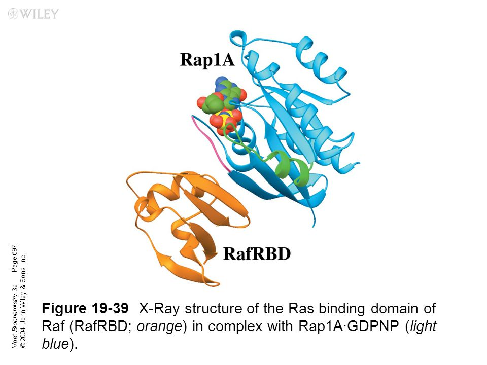 Voet Biochemistry 3e © 2004 John Wiley & Sons, Inc. Figure 19-39X-Ray structure of the Ras binding domain of Raf (RafRBD; orange) in complex with Rap1