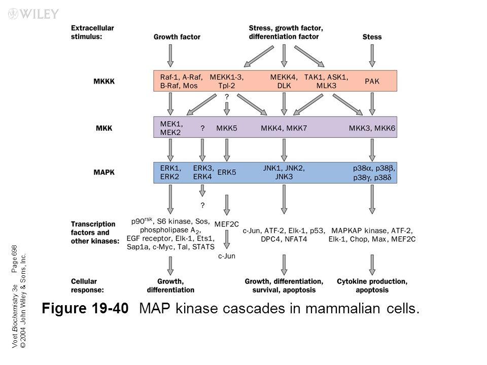 Voet Biochemistry 3e © 2004 John Wiley & Sons, Inc. Figure 19-40MAP kinase cascades in mammalian cells. Page 698