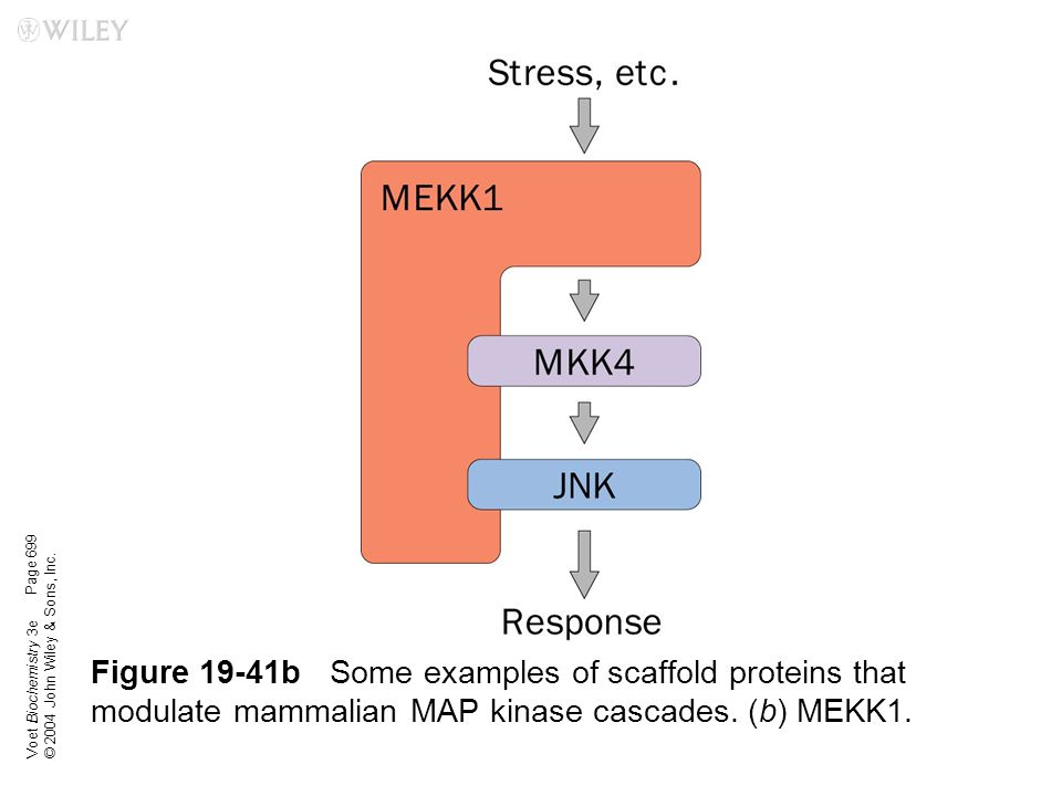 Voet Biochemistry 3e © 2004 John Wiley & Sons, Inc. Figure 19-41bSome examples of scaffold proteins that modulate mammalian MAP kinase cascades. (b) M