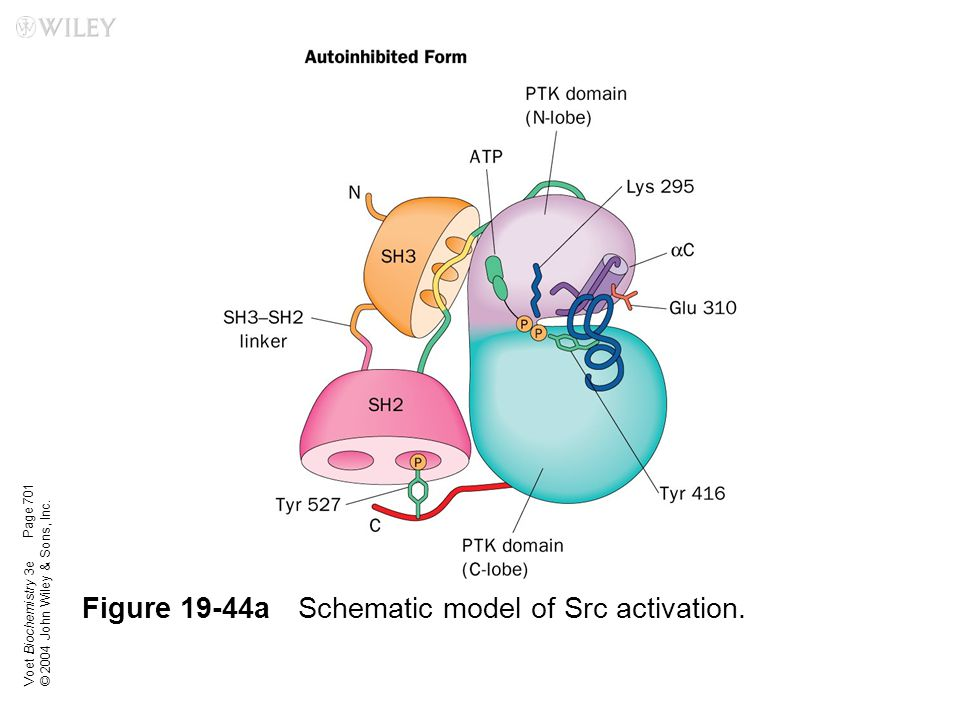 Voet Biochemistry 3e © 2004 John Wiley & Sons, Inc. Figure 19-44aSchematic model of Src activation. Page 701