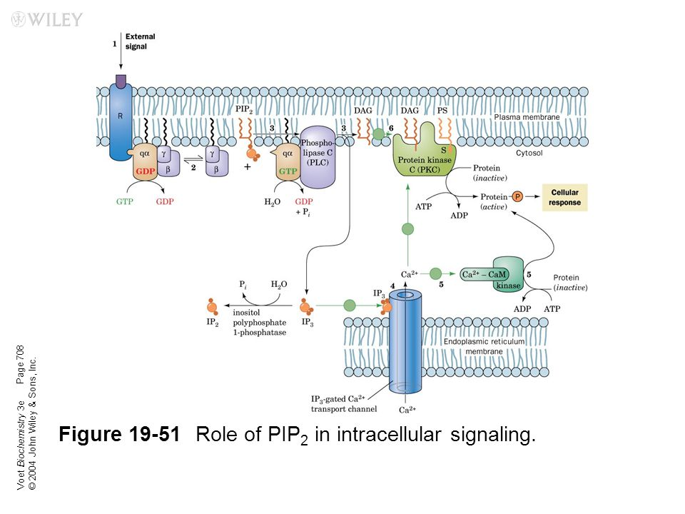 Voet Biochemistry 3e © 2004 John Wiley & Sons, Inc. Figure 19-51Role of PIP 2 in intracellular signaling. Page 708