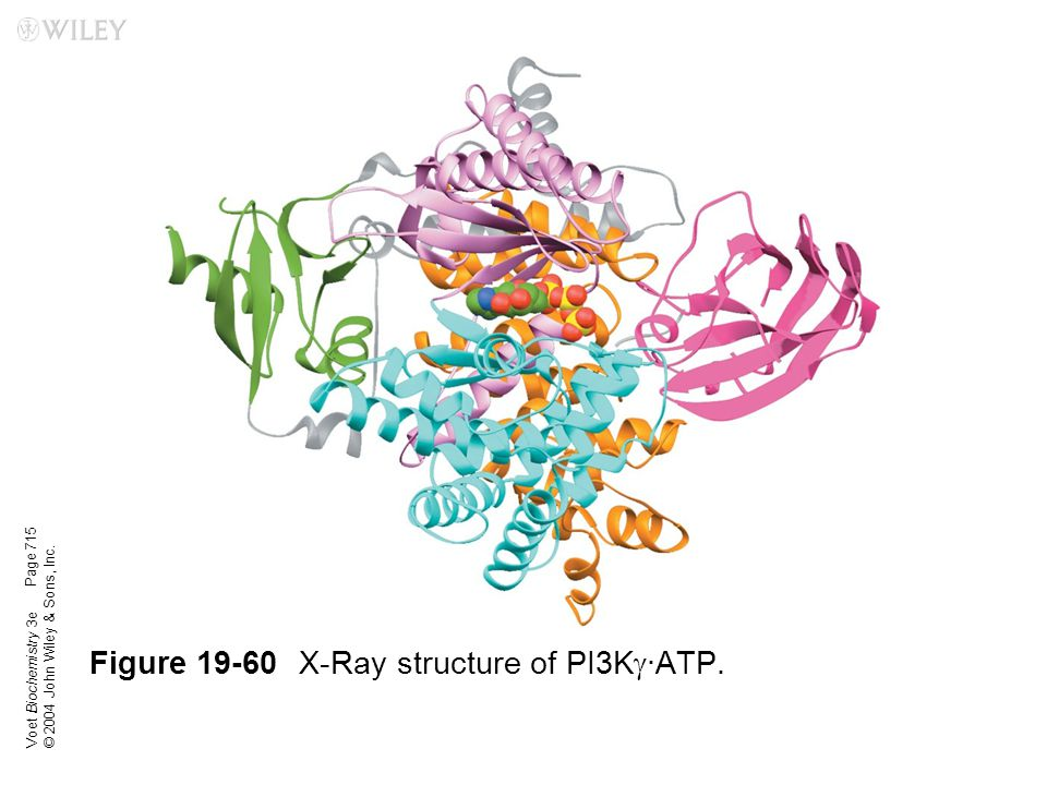 Voet Biochemistry 3e © 2004 John Wiley & Sons, Inc. Figure 19-60X-Ray structure of PI3K  ·ATP. Page 715