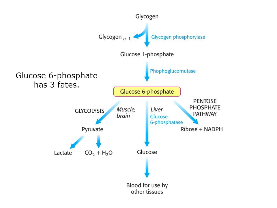 Synthesis requires the addition of glucose to the non- reducing ends of glycogen via UDP-glucose.