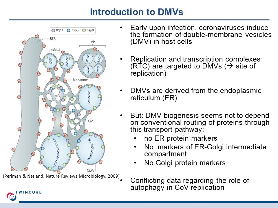 Introduction to DMVs Early upon infection, coronaviruses induce the formation of double-membrane vesicles (DMV) in host cells Replication and transcription complexes (RTC) are targeted to DMVs (  site of replication) DMVs are derived from the endoplasmic reticulum (ER) But: DMV biogenesis seems not to depend on conventional routing of proteins through this transport pathway: no ER protein markers No markers of ER-Golgi intermediate compartment No Golgi protein markers Conflicting data regarding the role of autophagy in CoV replication (Perlman & Netland, Nature Reviews Microbiology, 2009)