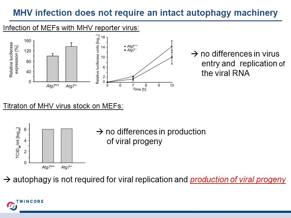 MHV infection does not require an intact autophagy machinery Infection of MEFs with MHV reporter virus:  no differences in virus entry and replication of the viral RNA Titraton of MHV virus stock on MEFs:  no differences in production of viral progeny  autophagy is not required for viral replication and production of viral progeny