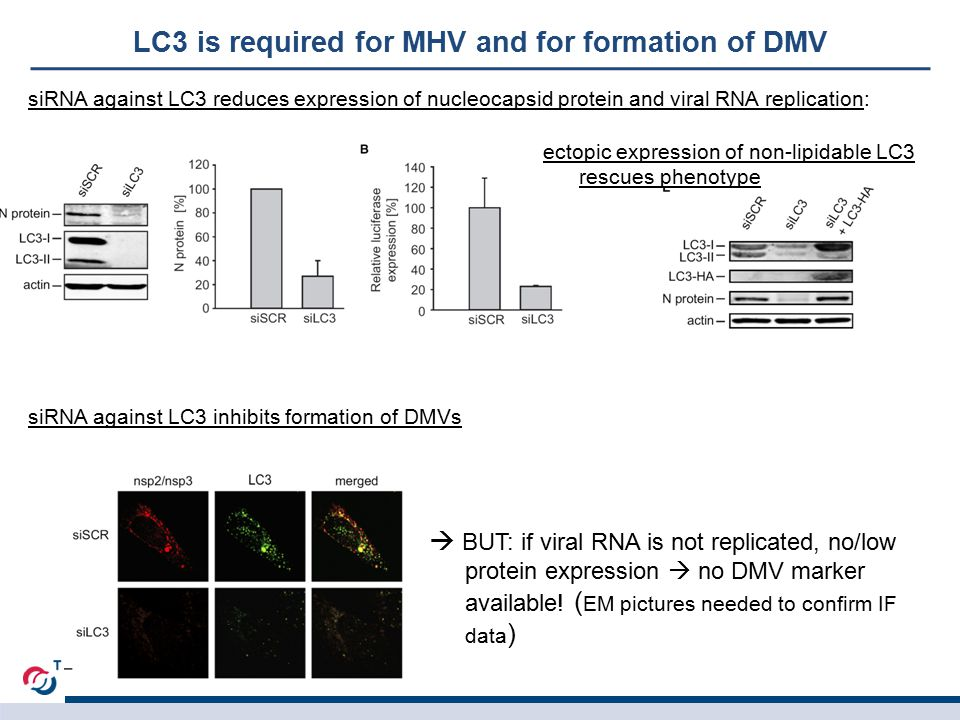 LC3 is required for MHV and for formation of DMV siRNA against LC3 reduces expression of nucleocapsid protein and viral RNA replication: siRNA against LC3 inhibits formation of DMVs  BUT: if viral RNA is not replicated, no/low protein expression  no DMV marker available.