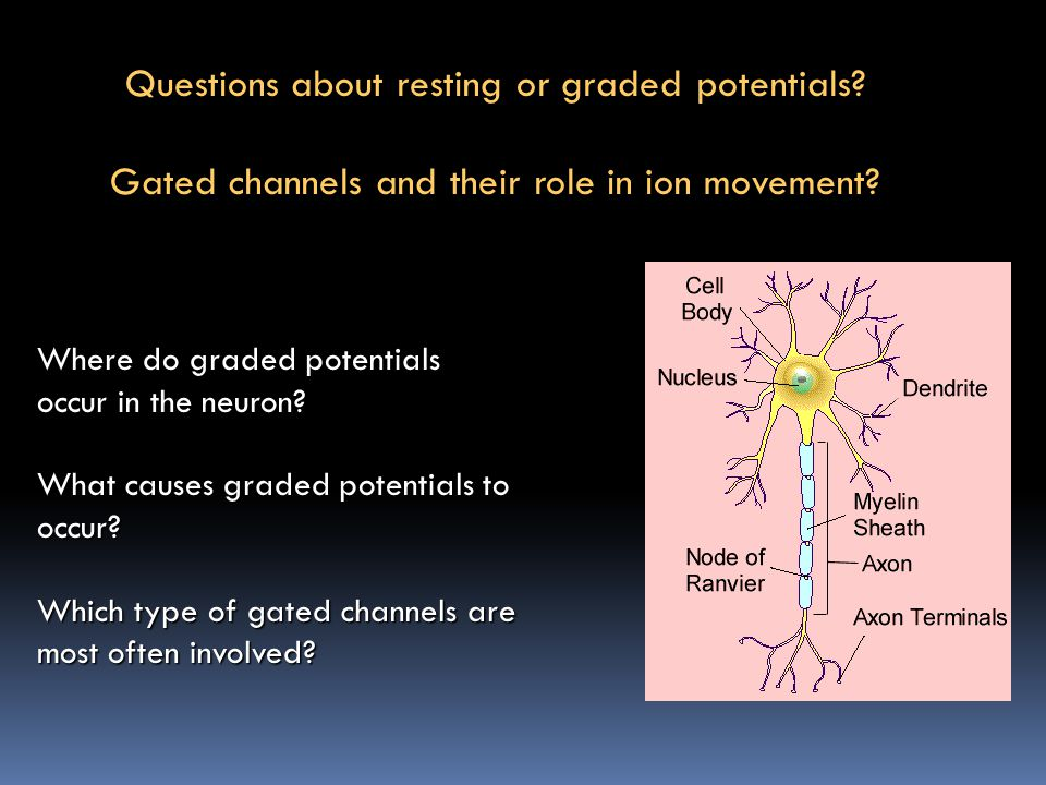 Questions about resting or graded potentials? Gated channels and their role in ion movement? Where do graded potentials occur in the neuron? What caus