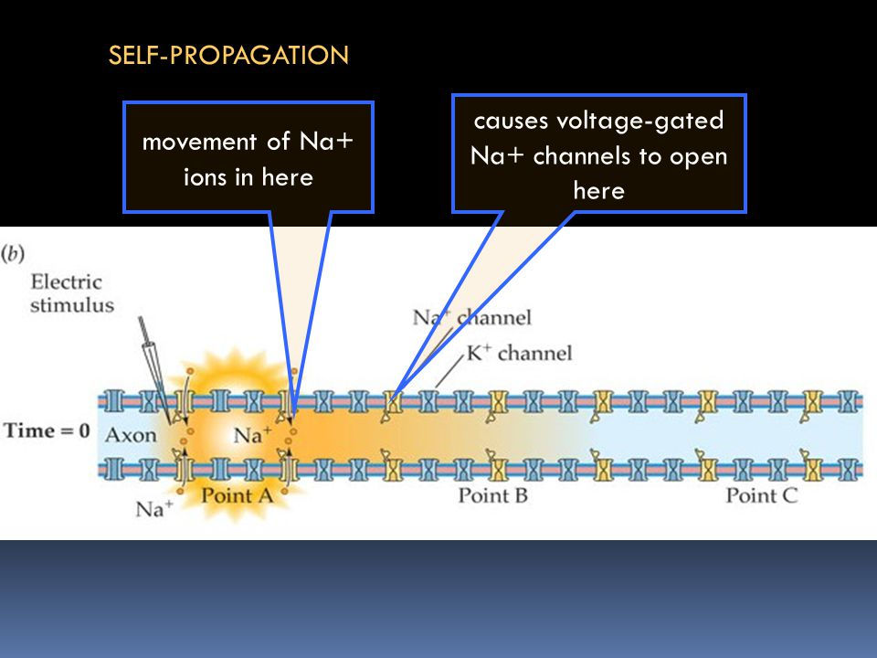 movement of Na+ ions in here causes voltage-gated Na+ channels to open here SELF-PROPAGATION