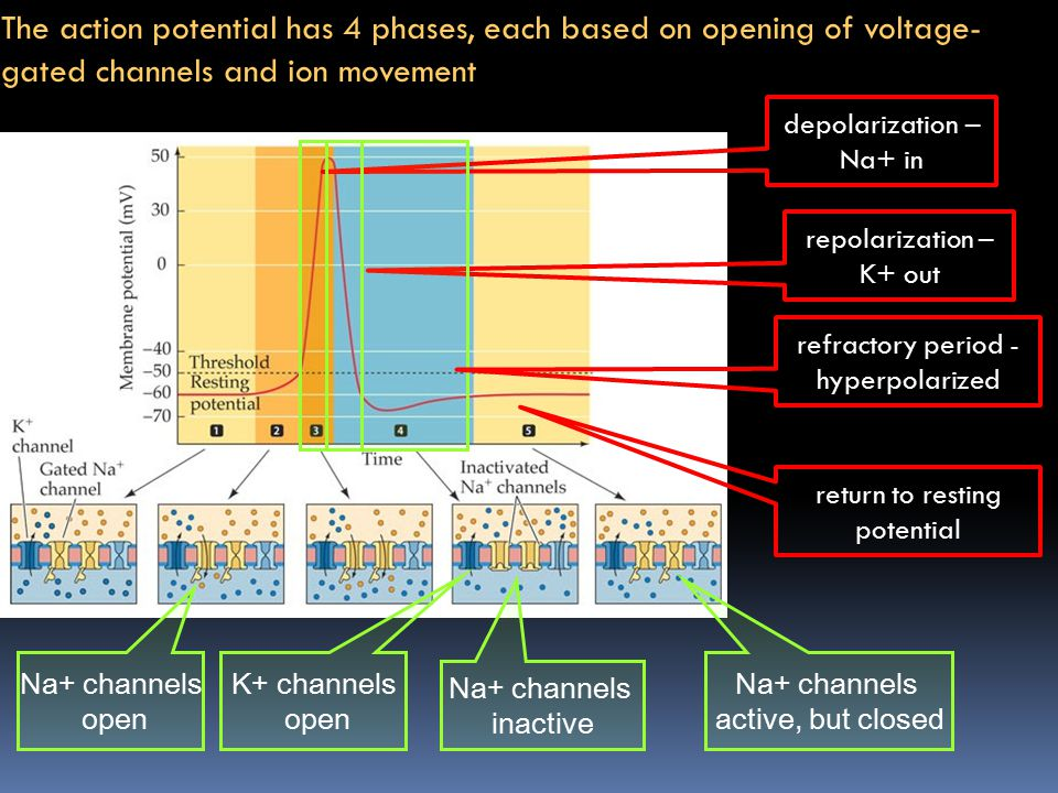 The action potential has 4 phases, each based on opening of voltage- gated channels and ion movement depolarization – Na+ in Na+ channels open repolar