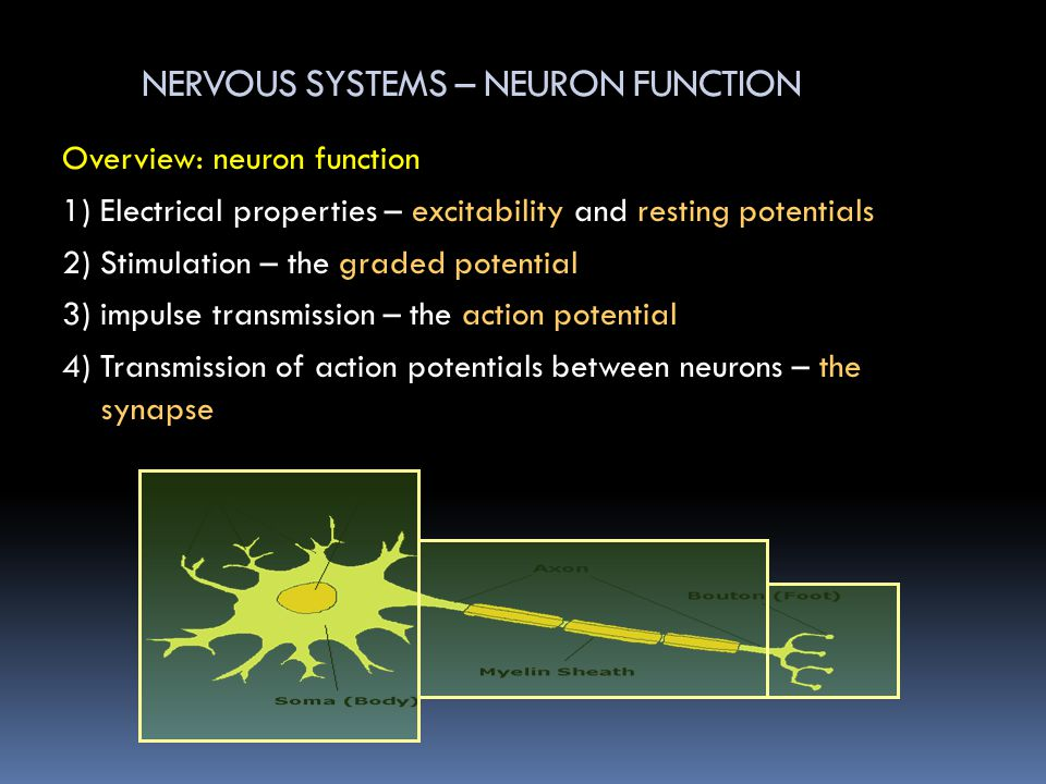 NERVOUS SYSTEMS – NEURON FUNCTION Overview: neuron function 1) Electrical properties – excitability and resting potentials 2) Stimulation – the graded