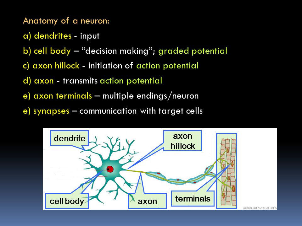 The action potential has 4 phases, each based on opening of voltage- gated channels and ion movement depolarization – Na+ in Na+ channels open repolarization – K+ out K+ channels open refractory period - hyperpolarized Na+ channels inactive return to resting potential Na+ channels active, but closed