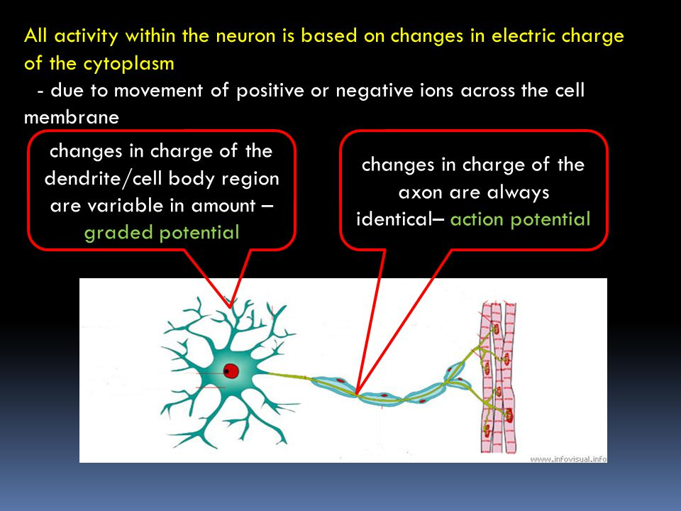 A single receiving (post-synaptic) neuron can have 1000's of synapses with different incoming (pre-synaptic) axon terminals - each synapse is either excitatory or inhibitory simultaneous stimulation at many synapses is evaluated by cell body = integration