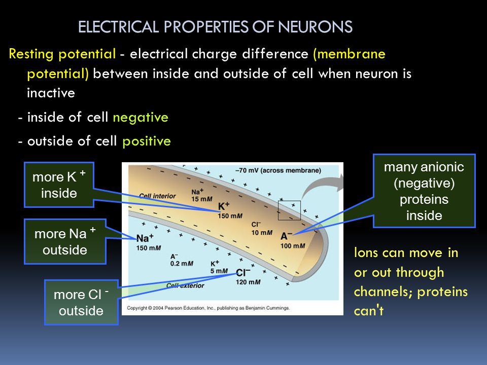 ELECTRICAL PROPERTIES OF NEURONS Resting potential - electrical charge difference (membrane potential) between inside and outside of cell when neuron