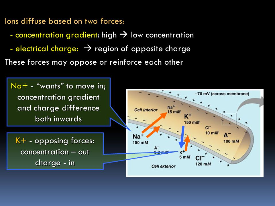 Saltatory conduction - AP jumps from one node to the next, travels faster than in an uncovered axon -maximum speed of conduction in myelinated vertebrate axons - 120 m/s (= 270 mph) - small, unmyelinated axon of human autonomic nervous system – 1m/s (= 2.25 mph) diffusion of Na+ ions inside the axon causes opening of Na+ channels at next node AP jumps from node to node