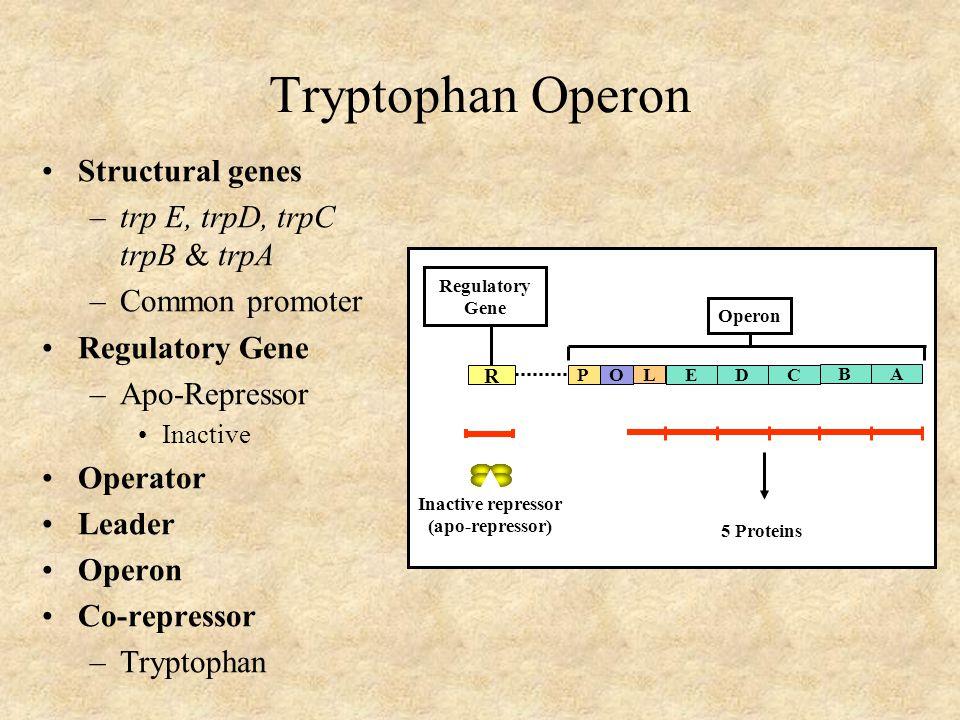 Tryptophan Operon Structural genes –trp E, trpD, trpC trpB & trpA –Common promoter Regulatory Gene –Apo-Repressor Inactive Operator Leader Operon Co-repressor –Tryptophan R Operon Regulatory Gene POEDC 5 Proteins B A L Inactive repressor (apo-repressor)